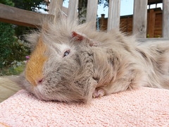 Alfie Relaxing (skoop102) Tags: sleeping orange garden fur guinea pig guineapig cavies cavy furry relaxing fluffy alf fluff sleepy lilac pigs guineas alfie