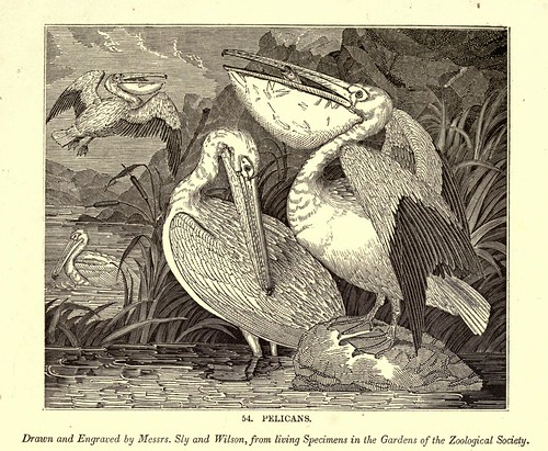 006a-Pelicanos-One hundred and fifty wood cuts, selected from the Penny magazine 1835