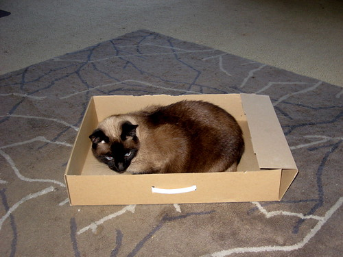 Siamese cat sitting obliviously inside large cardboard box