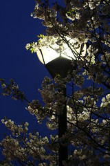 Japanese cherry blossoms in Kyoto (mwesselphotography) Tags: street travel japan night canon cherry kyoto blossom cherryblossom kiyamachi tramproyal