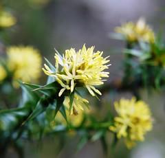Richea Sprengliodes Flower