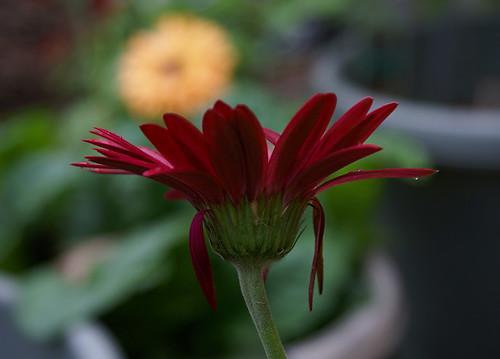 old daisy