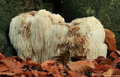 Wig...... (Astrid Photography.) Tags: wood autumn nature netherlands fungus veluwe staverden abigfave astridphotography impressedbeauty flickraward goldsealofquality hericiumerinaceum pruikzwam explorer443 rarefungus