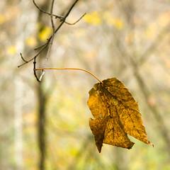 Last One Standing (larryt135) Tags: autumn fall colors forest leaf illinois bokeh ravine peoria