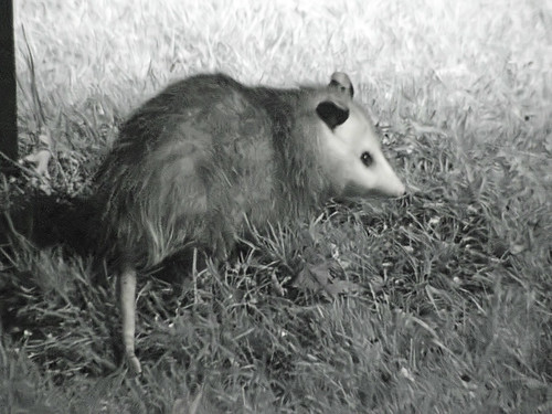 possum night