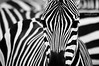 zebra madness continues (Heilah Alnasser) Tags: