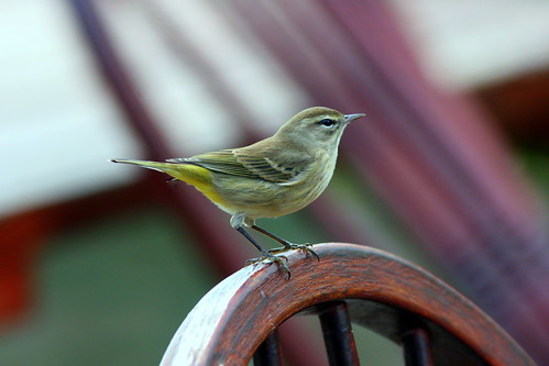 Palm Warbler uncropped edited 20091120