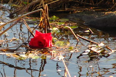 Discarded feelings.... (zJMac) Tags: world park light red ontario canada flower reflection leaves rose canon river sadness daylight day view ripple ottawa debris watching floating sunny calm petal single end lonely discarded placement rideau feelings zjmac
