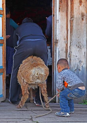 IMG_1437-w sheep