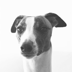 ZERO (Dada Mar) Tags: dog white black 50mm whippet zero thelittledoglaughed