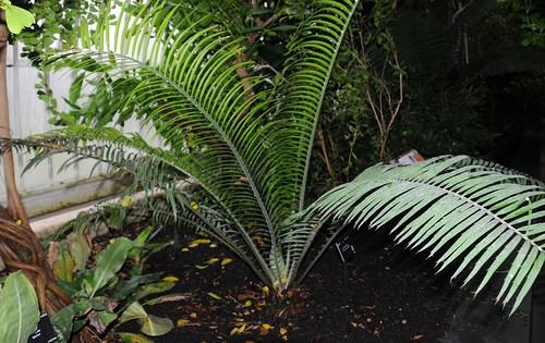 encephalartos villosus x umbeluziensis