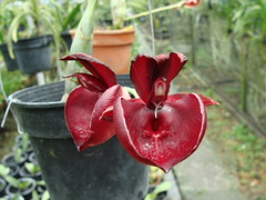 ctsm penang dark red (5)