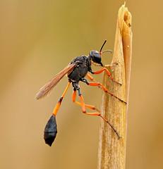 Sphecidae