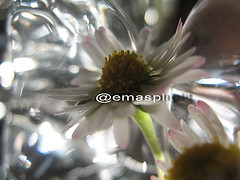 "#107""/09 (emasplit) Tags: flowers daisy emasplit explore2009 fleursetpaysages"
