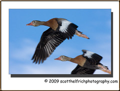 Black Bellied Whistling Duck in Flight (Nature Photos by Scott) Tags: nature birds florida wildlife birding ducks whistling circleb