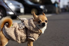Have a wonderful last day in 2009 (kanonyobo) Tags: dog chihuahua canon explore kanon 5dmark2