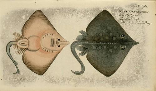 Raia oxyrinchus
