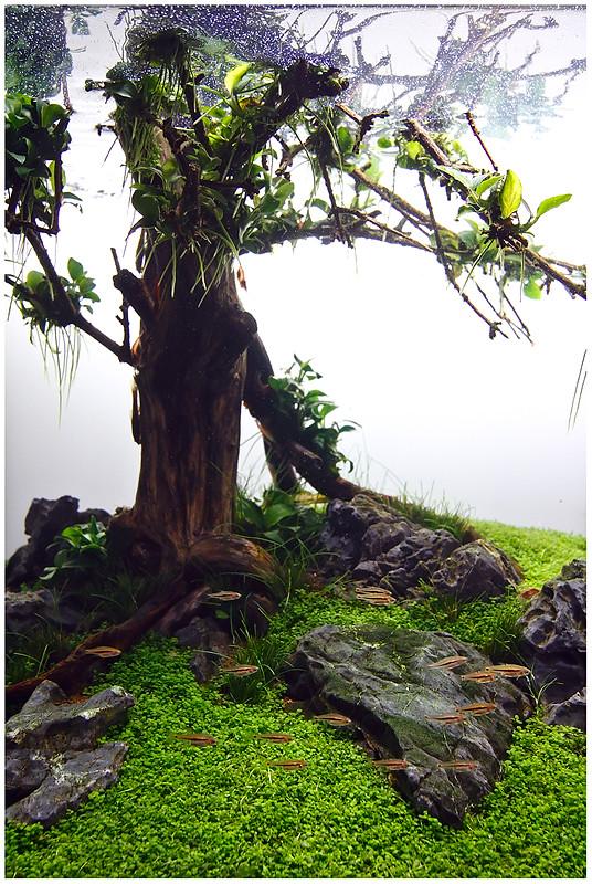 Rasboras and tree