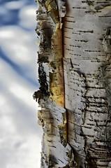 Birch Bark (kimshand) Tags: winterbeauty bark birch tree trunk snow ns novascotia canada winter wentworth wentworthvalley 4winter crisp white nature