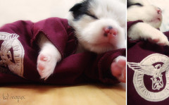 Rhino's sleep shirt (vwynx) Tags: pink sleeping dog up puppy university maroon philippines rhino brinks uplb prettypinktuesday sabrinaalo
