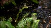 Trickling Brook with Ferns at the Heritage Grove Redwood Preserve in La Honda, California (SCVHA) Tags: california commemorative lahonda heritagegrove redwoodpreserve