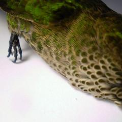 P7070050 (Arkaitse) Tags: macro dead hummingbird rip requiem picaflor sephanoidesgaleritus