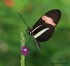 a sweet butterfly (iCamPix.Net) Tags: flower canon butterfly postman heliconiusmelpomene 9885 specanimal markiii1ds