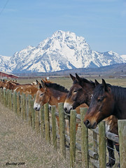 Line'em Up (dbushue) Tags: ranch horse mountains animals fence landscape donkeys peak snowcapped wyoming moran mtmoran abigfave overtheexcellence favoritenw10 dailynaturetnc11
