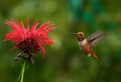 Hummingbird 2 (ratty2austin) Tags: flower bird washington hummingbird northwest hummer hover canon40d