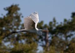 Upstroke (gseloff) Tags: kayak texas pasadena waterfowl egret armandbayou gseloff galvestonbayestuary