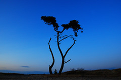 Beekhuizerzand (Arthur Koek) Tags: blue sky tree desert thenetherlands harderwijk veluwe gelderland beekhuizerzand