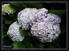 Hydrangea macrophylla (Mophead Hydrangea, Bigleaf Hydrangea, Hortensia) in greyish blue and lavender