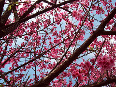 Cherry Blosson (Camila Geek Girl) Tags: pink trees flower tree cherry branch blossom flor rosa  sakura   ramo rvore galhos ramos rvores bough galho florzinha    cerejeira