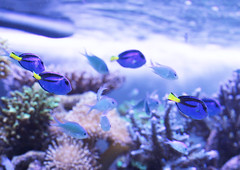 Blue tang (ayu@nanami) Tags: fish aquarium