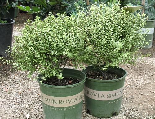 pittosporum from Monrovia Growers