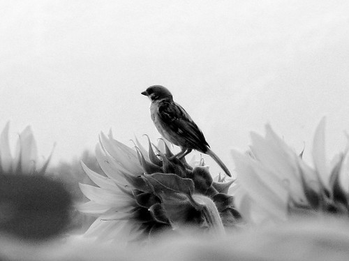 meditative sparrow
