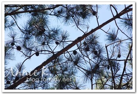 武陵桃山松樹3