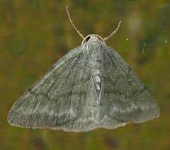Grass Emerald (Med Gull) Tags: ireland grass cork moth lepidoptera cobh emeral