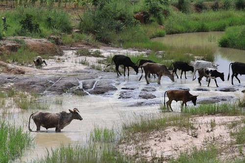 Cattle crossing river.