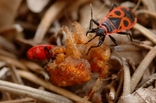 Pyrrhocoris apterus & Araneus diadematus| Vuurwants en kruisspin - Firebug and Garden spider