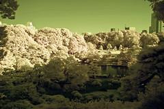 Rikugien Garden Ponds And Skyline (aeschylus18917) Tags: park trees red sky lake tree grass japan garden landscape ir tokyo japanesegarden pond nikon scenery d70 nikond70 surreal infrared   nikkor matsu infra pinetrees  1870mm  f3545g rikugien 1870  105mmf28gfisheye    1870f3545g rikugiengarden bunkyku bunky nihonteien rikugienpark  nikkor1870f3545g rikugienkoen danielruyle aeschylus18917 danruyle druyle rikugeinkoen   1870mmf3545gifdx rikiguen nikkor1870f3545gdx