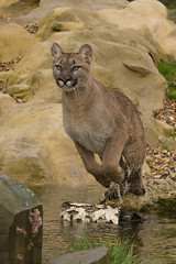 Cougar Leap (Julia-D) Tags: uk england mountain heritage water cat kent wildlife centre lion conservation puma cougar sanctuary mountainlion viktoria wildlifeheritagefoundation whf flickrbigcats