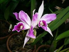 nilgazzola orquidea rosada que ganhei em 2008 flor de 20 de novembro 2009 (nilgazzola) Tags: de foto ou com tirada maquina nilgazzola