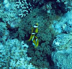 Dahab-20091126-094421 (John Mason) Tags: underwater turtle dahab egypt diving clownfish torpedoray seaocean gabrelbint miragedivers