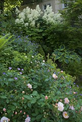 A mixed border with Moschata Hybrids (Rosarian49) Tags: flowers roses plants gardens switzerland blumen zrich garten urbangardens aruncus citygarden cottagegarden hirslanden privategardens mixedborder rosesanciennes rabatten privatgarten rosarian49 moschatahybrids yourowngarden