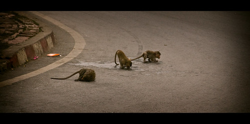 Monkeys in the streets!