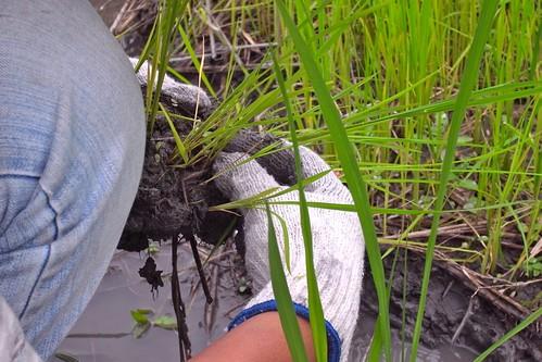 冠宇小美自然農 不耕地插秧 南澳2011