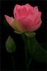 Lotus Flower -IMG_0100-800 (Bahman Farzad) Tags: flower macro yoga peace lotus relaxing peaceful meditation therapy lotusflower lotuspetal lotuspetals lotusflowerpetals lotusflowerpetal