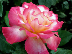 Rose beauty (rsteup) Tags: flowers roses flower rose beautifulflowers fortwaynein lakesidepark bloomingbeauty fwfg canonpowershots90 canons90