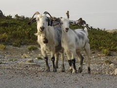 LOVE GOAT , Andros (dimitra_milaiou) Tags: world life road above friends sea 2 two sky mountain plant green love nature animal stone hair island greek grey day village bell path sony horizon steps aegean hellas goat greece summertime emotions andros cyclades dimitra hellenic  dscp93a   aigaio   milaiou